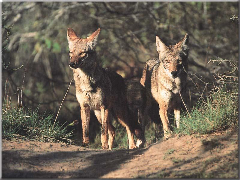 Costa Mesa Coyotes to be Trapped